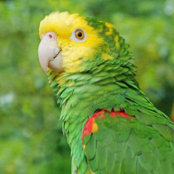 An Amazon Parrot
