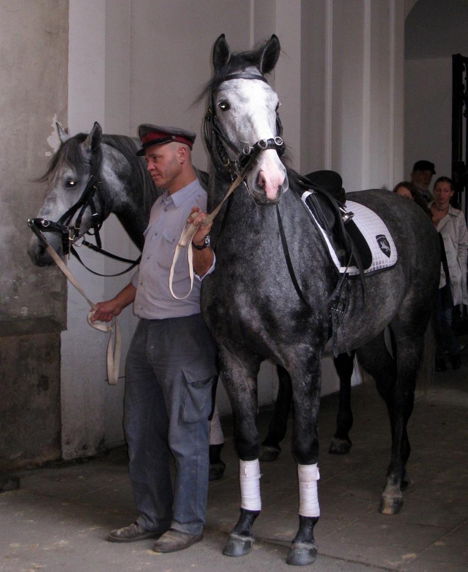 Vienna Lippizaner stallions